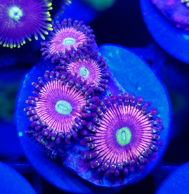 Radioactive Cat Eye Zoas