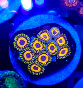 Jungle Juice Zoas