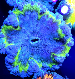Bubbly Blue Center Highlighter Ring Flower Anemone