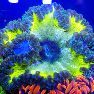 Ultra Highlighter Bullseye Flower Anemone
