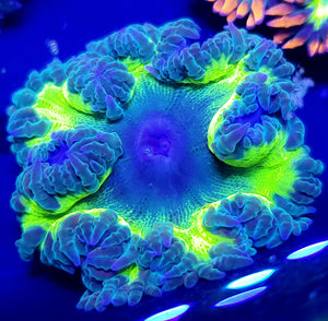 Green Skirt Bi-color Green Flower Anemone