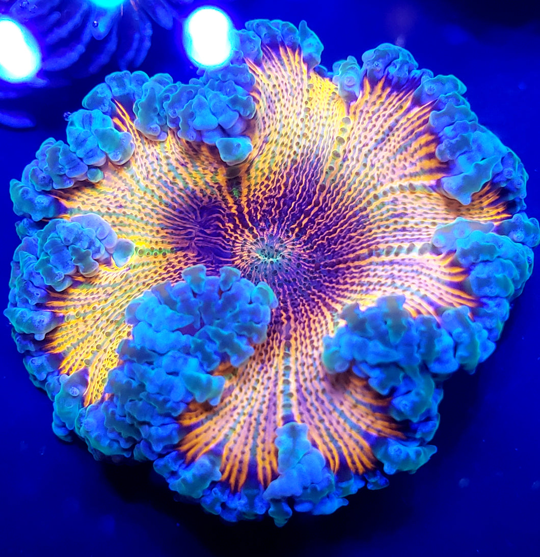 Rainbow Chrome Flower Anemone