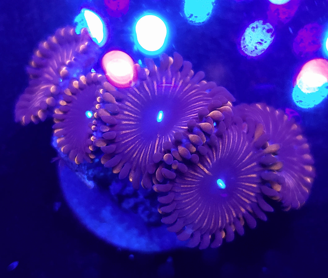Red People Eater Zoas