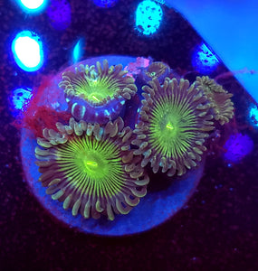 Green People Eater Zoas