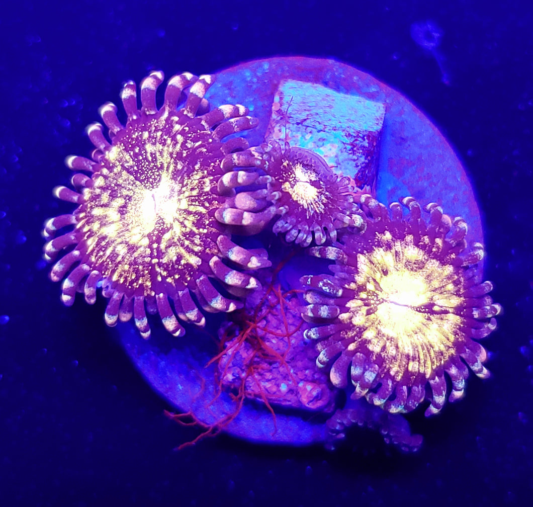 Pink N Gold Zoas
