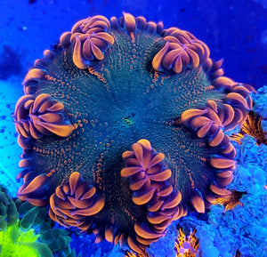 Ultra Red Heavy Bubble Flower Anemone