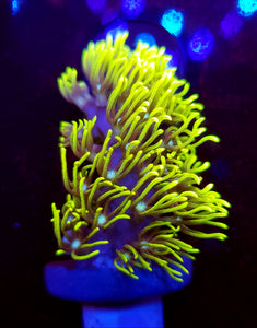 Branching Green Star Polyps