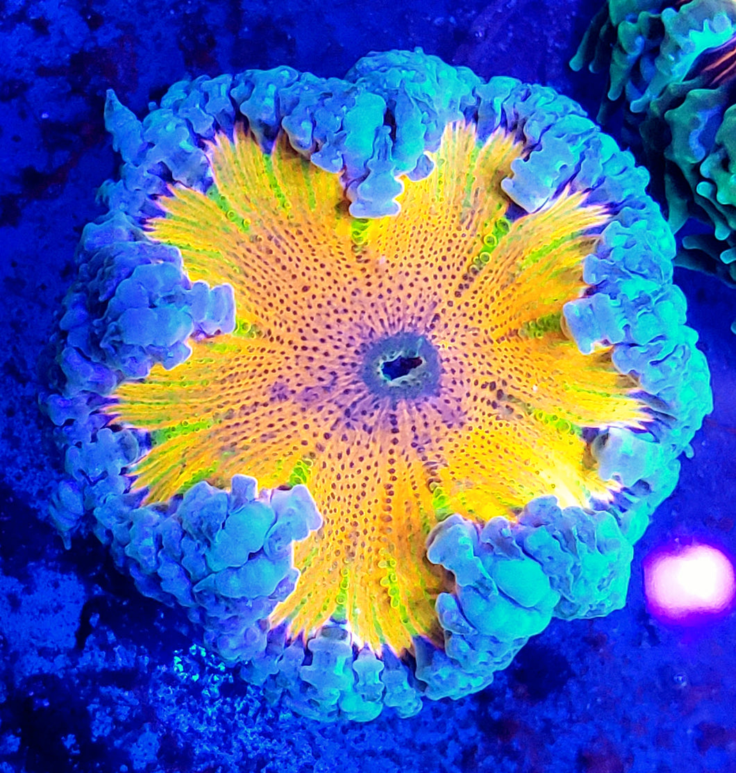 Rainbow Kaleidoscope Ultra Flower Anemone