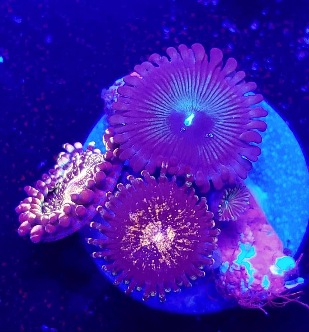 Pink & Gold + Green People Eater Zoa Combo