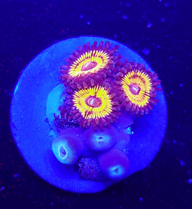 Armor of God Zoas