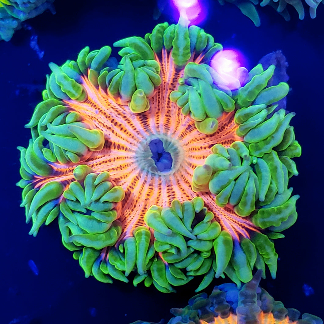 Neon Skirt Hot Pink Zebra Flower Anemone