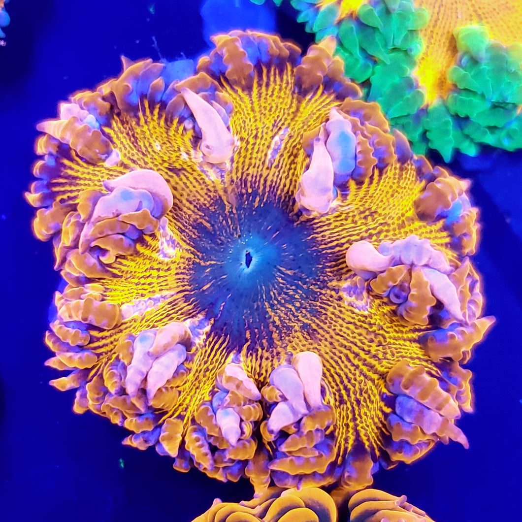 Ultra All Red Bullseye Tie-Dye Center Flower Anemone