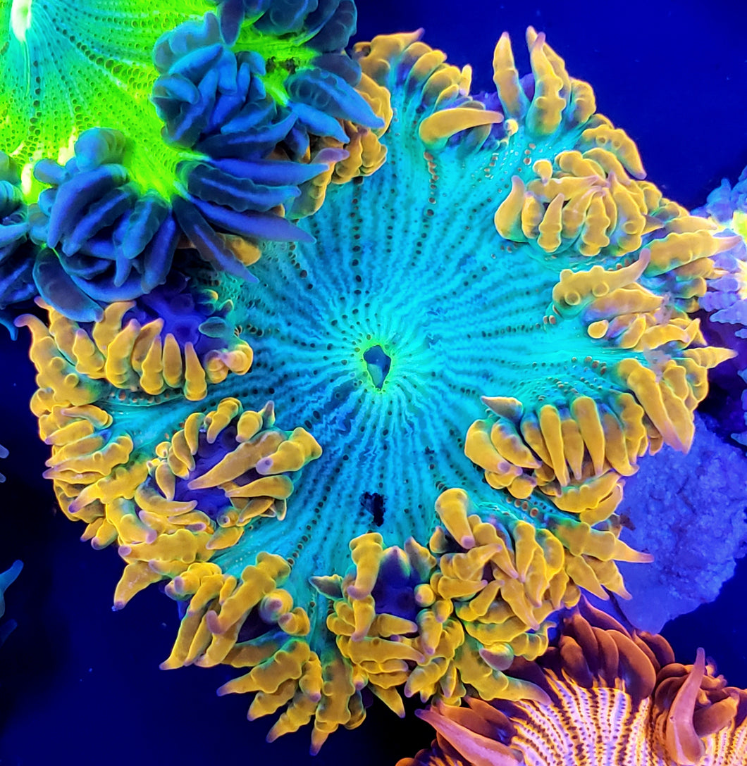 Golden Zebra Flower Anemone