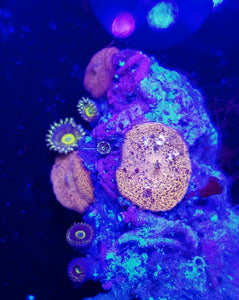Golden Carlgreni Mushroom Rock + Unknown Zoas