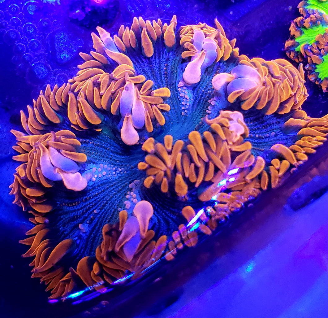 XL Red Zebra Bullseye Flower Anemone