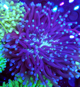 XXL Showsize Joker Long Tentacle Plate Coral