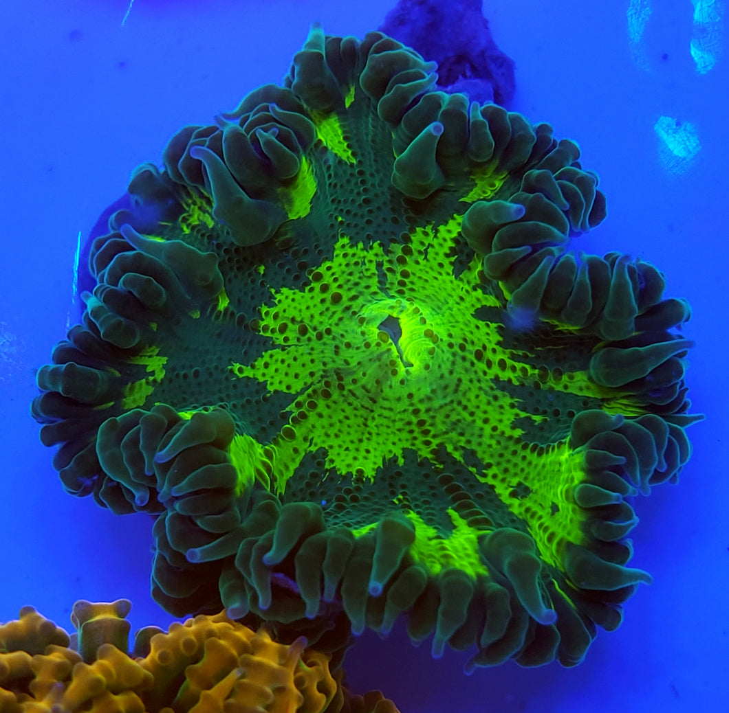 Kryptonite Ring Flower Anemone