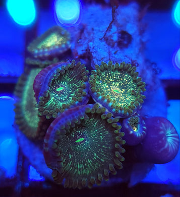 Hawaiian Sticky Punch Zoas