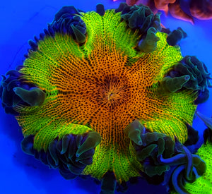 Green Skirt Ultra Rainbow Flower Anemone
