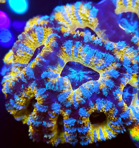 Golden Icy Swirl Acan Chunk