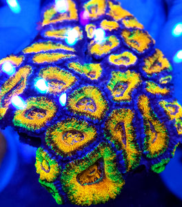 Holy Grail Rainbow Acan frag