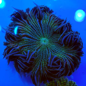 Green Zebra Flower Anemone