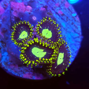 Black Hole Sun Zoa Morph