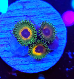 Unknown Zoas