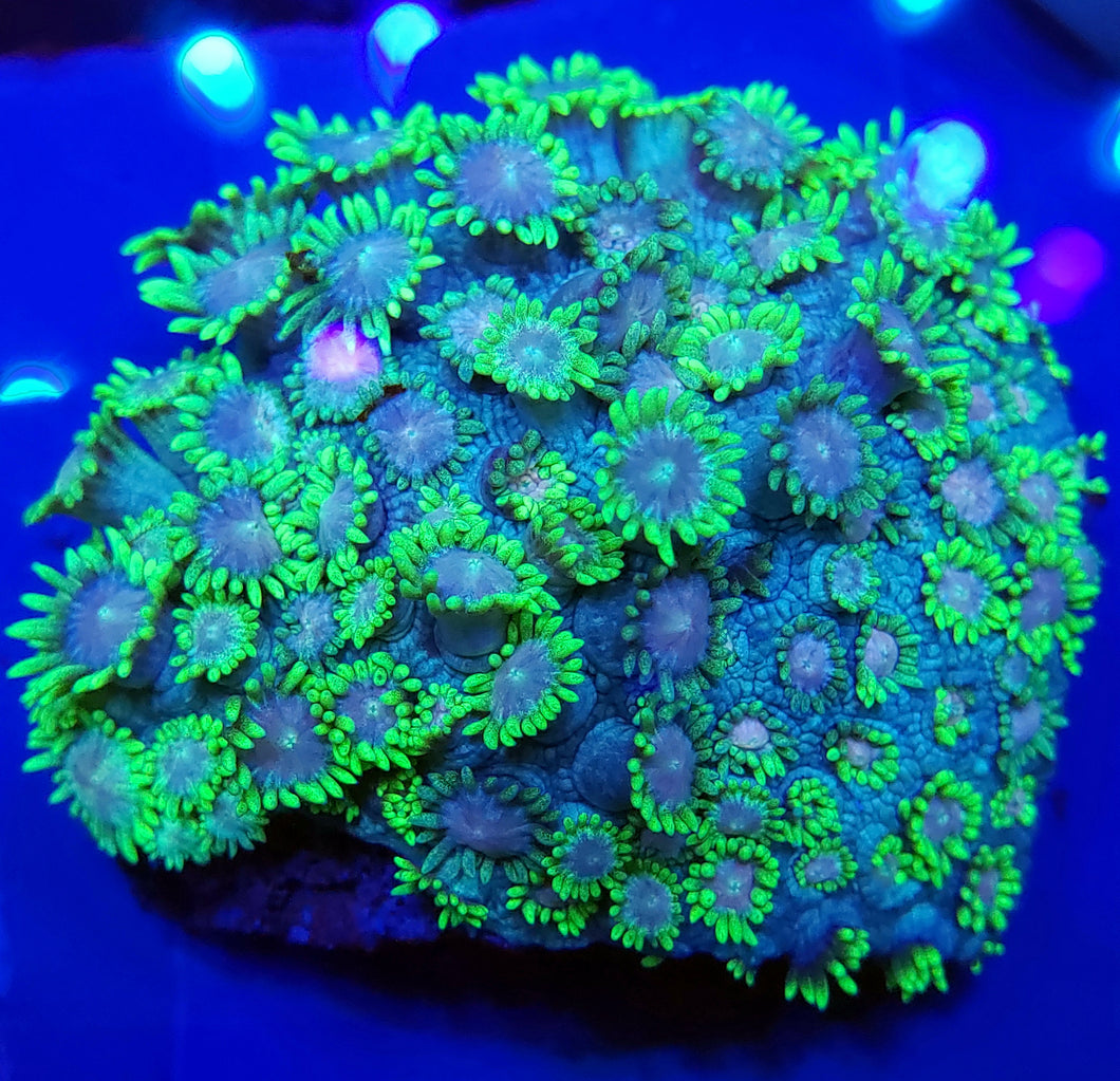 Pink Center Ultra Green Gonipora Disk