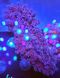XL Pink & Purple Frogspawn