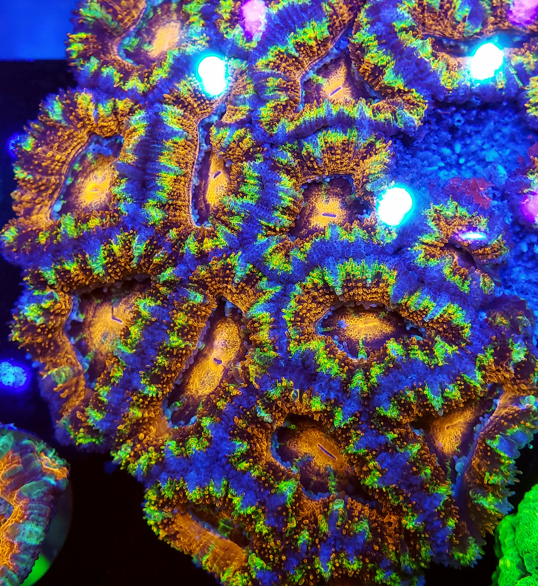 Solar Flash Acan frag