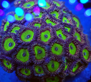 Candy Apple Zoa frag
