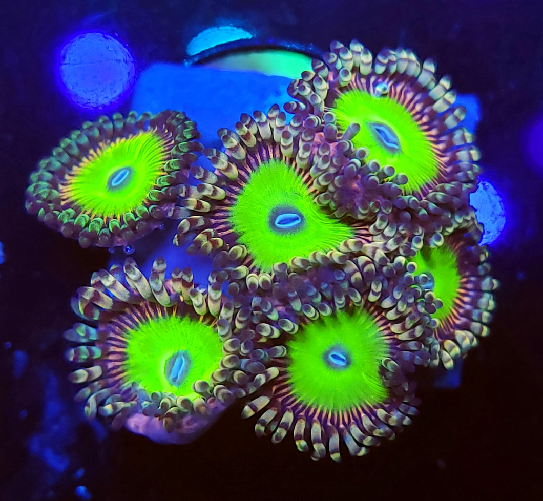 Candy Apple Pink Zoas