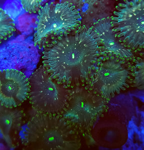 Hawaiian Zoa frag