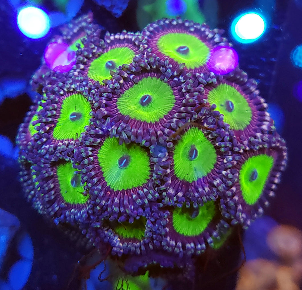 Candy Apple Pink Zoa Cluster