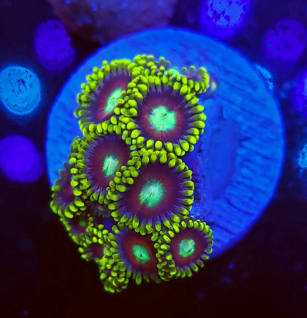 Lady Dragon Eye Zoas