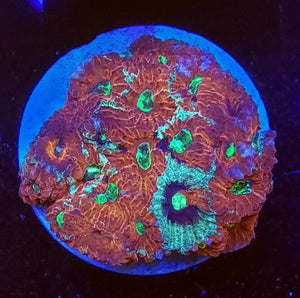 Grafted War Coral Favites