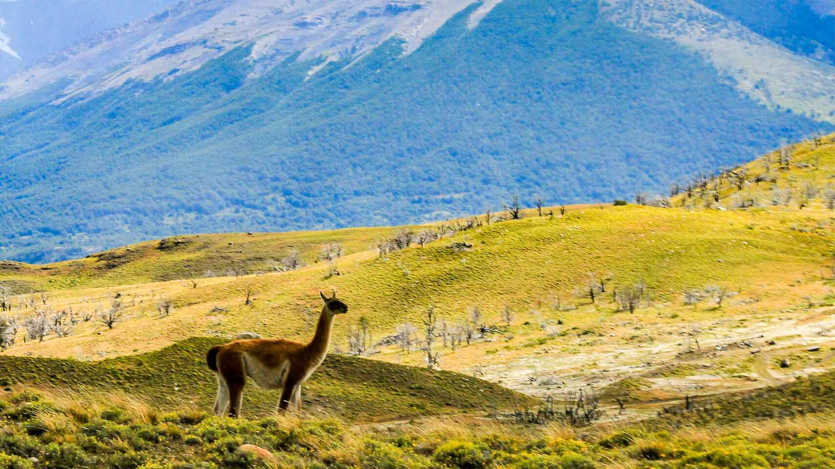 Llama standing on grass covered hills in front of the Torres del Paine with a cloud covered sky. Patagonia, Chile