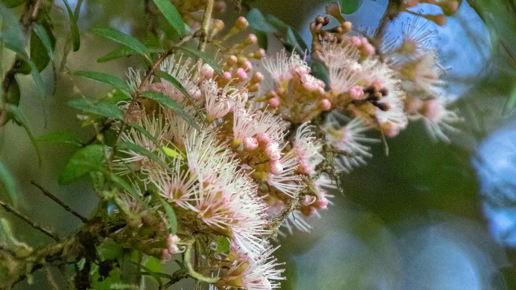 Close up of the pink rata flower, a New Zealand native tree, on the  Hollyford Valley track, Fiordland, New Zealand