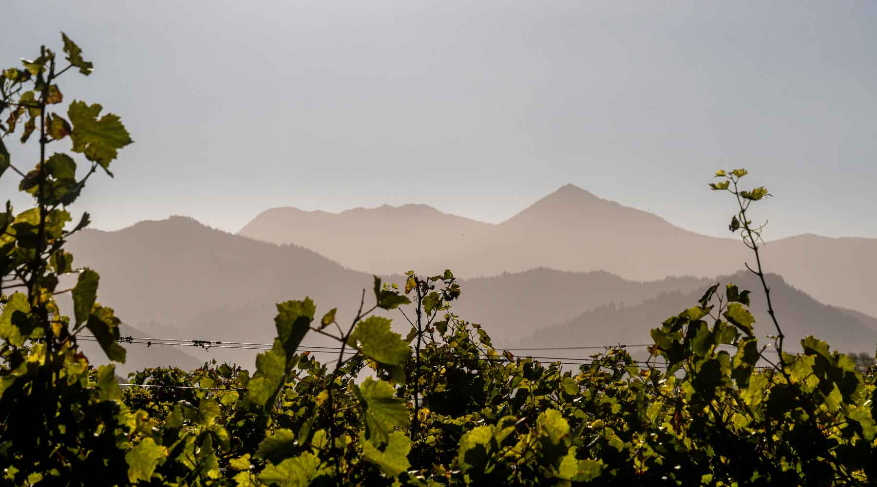 Grape vines of Huia Vineyards in the foreground with the Marlborough hills in the sun in the distance