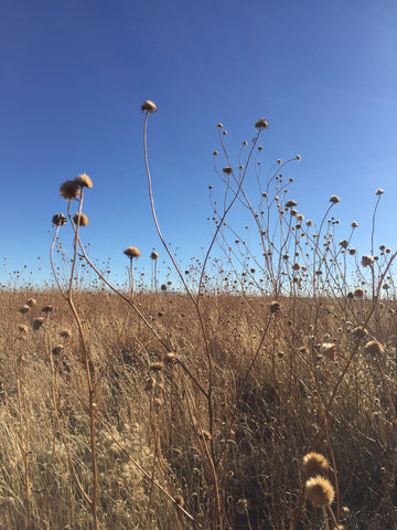 Dry grassland and seed pods in New Mexico