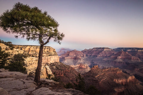 Tree silhouetted against the Grand Canyon