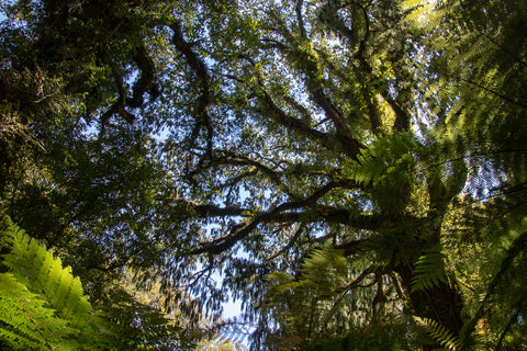 Looking up at the forest canopy that almost completely covers the sky, while walking the Hollyford Valley Track in Fiordland, New Zealand