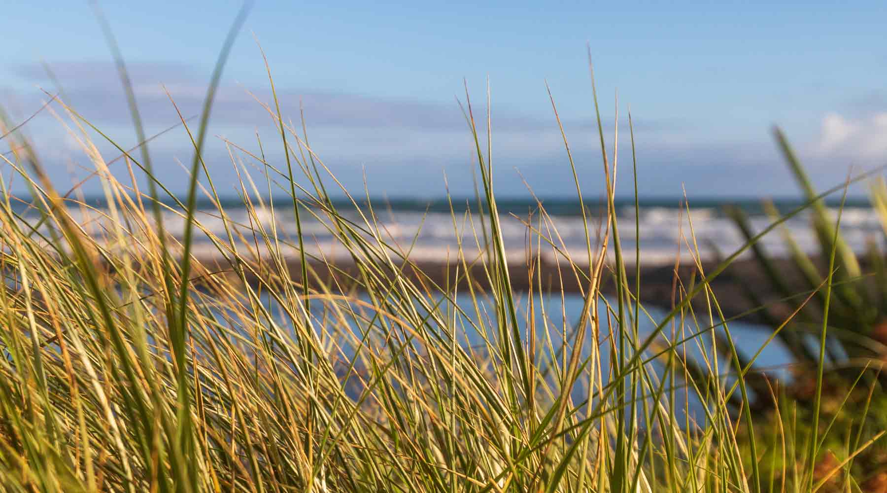 Foreground are grasses in the sand dunes with sun on them and in the background is the black sand beach and the surf