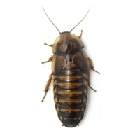 Adult Female Dubia Roaches