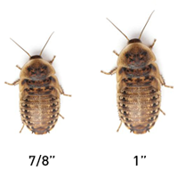 Large Dubia Roaches