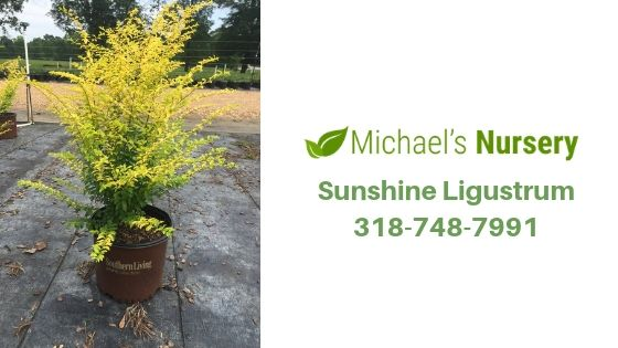 4 Reasons Why a Sunshine Ligustrum is The Perfect Plant for Your Yard
