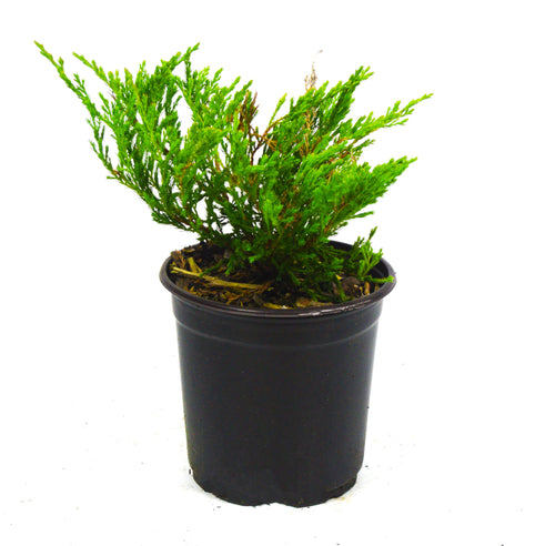 Andorra Juniper Shrub - Michaels Nursery