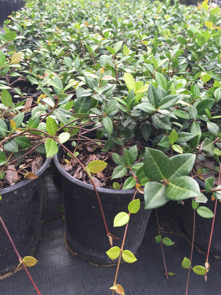 Asian Jasmine Evergreen Vine Shrub - Michaels Nursery