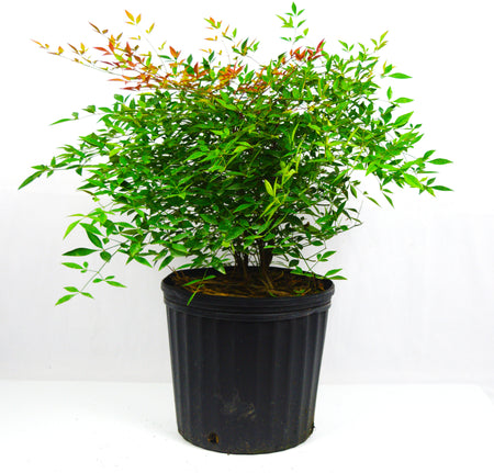 Sunshine Ligustrum